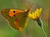 Clouded Yellow.