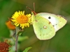 Clouded Yellow(Helice)
