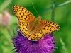 Dark Green Fritillary.