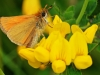 Essex Skipper..