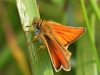 Essex Skipper.