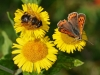 Small Copper & Bee