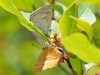 Purple & Brown Hairstreak