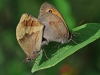 Meadow Browns.