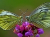Green Veined Whites
