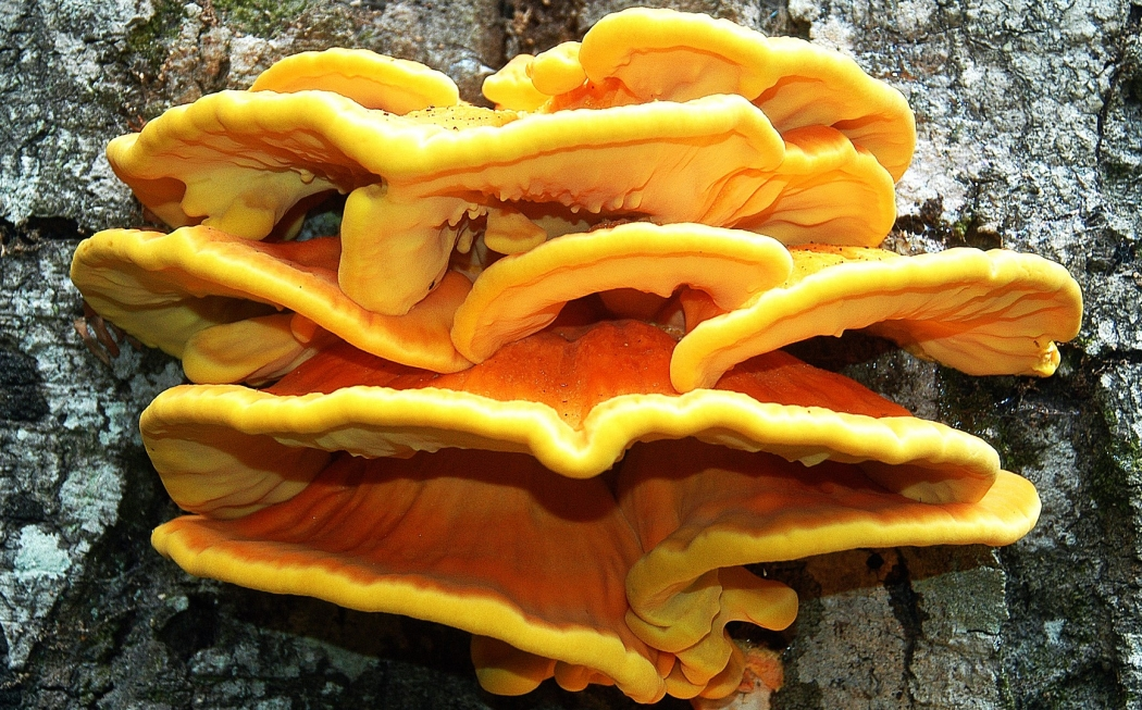 Chicken Of The Woods.