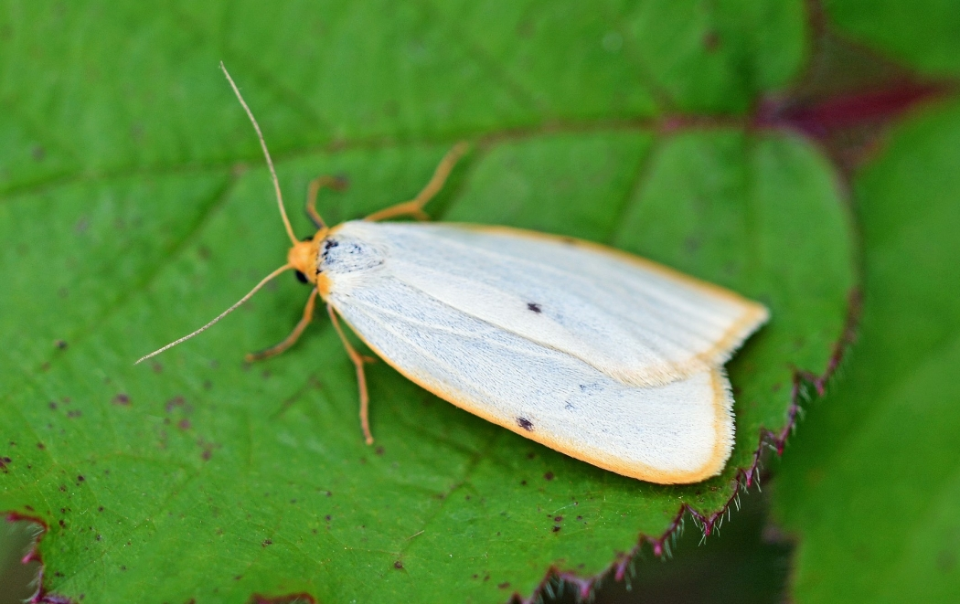 Four Dotted Footman
