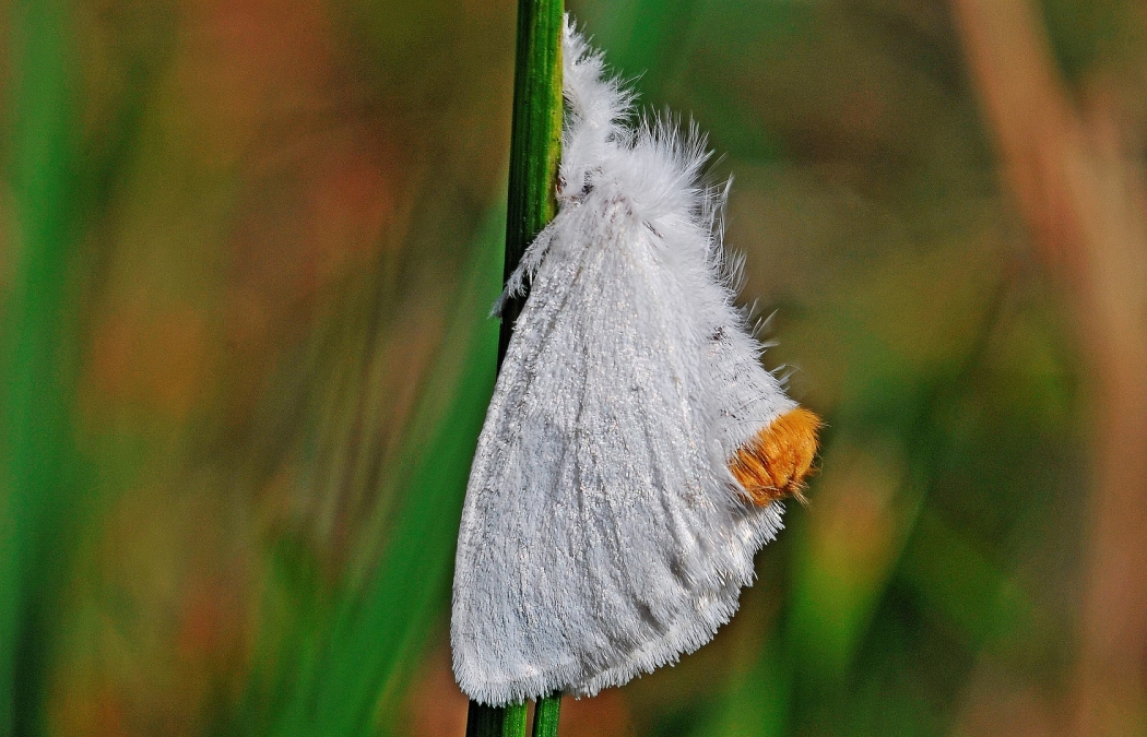 Yellow-Tail Moth