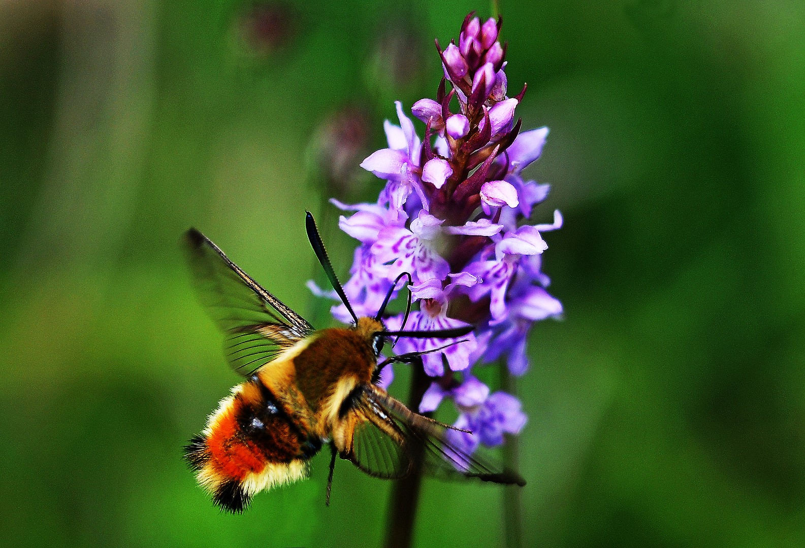 Narrow Bordered Bee Hawkmoth