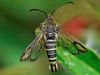 Six Belted Clearwing