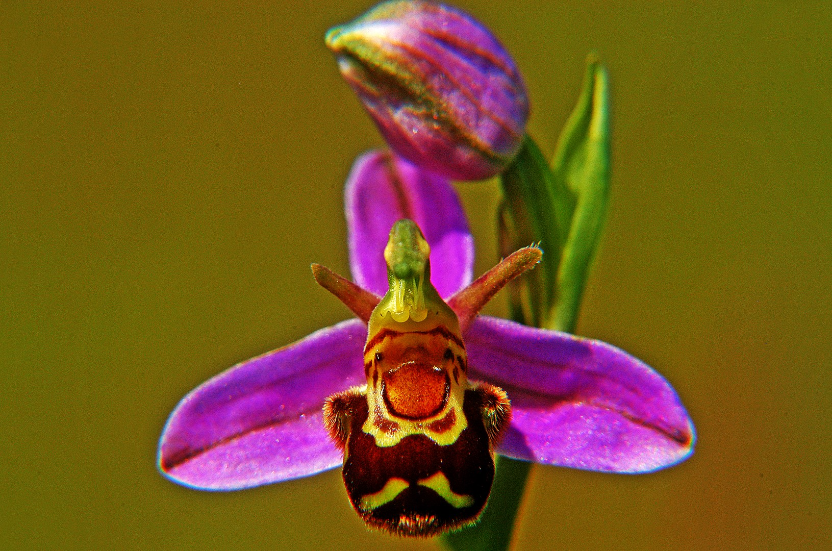 Bee Orchid.