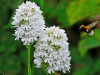 White Pyramidal Orchid