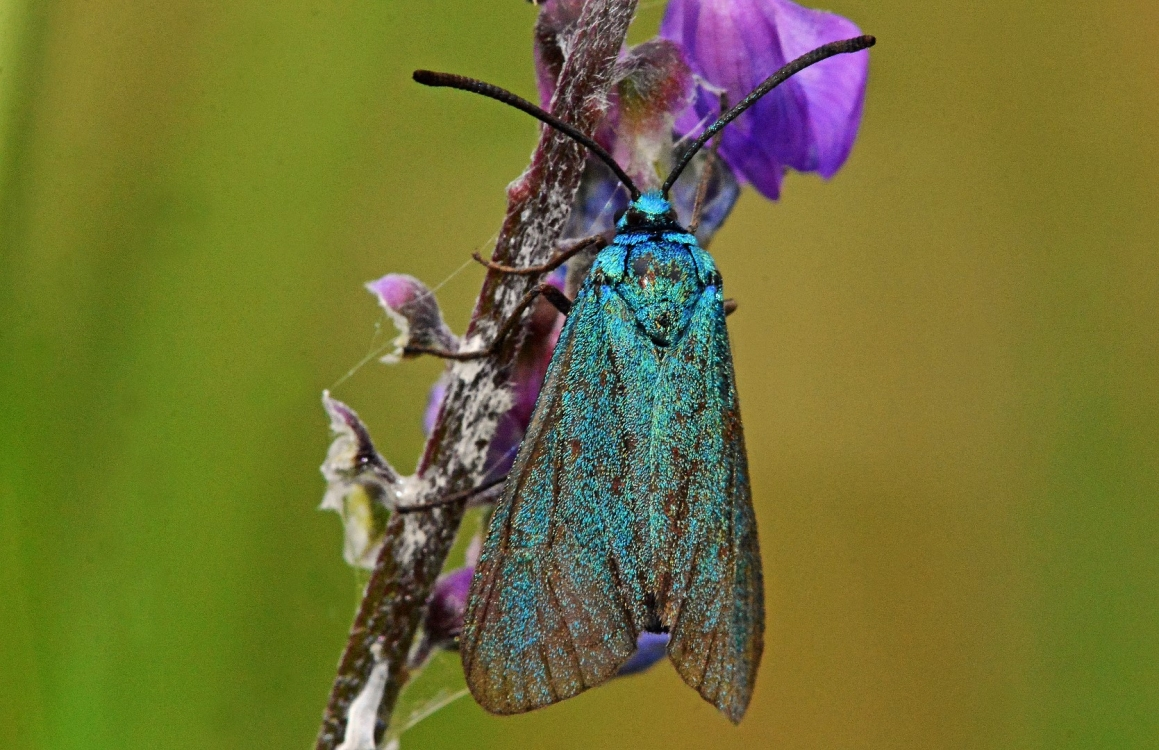 The Forester Moth