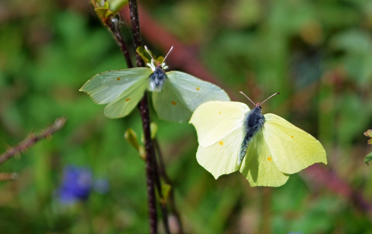Courting Brimstone's