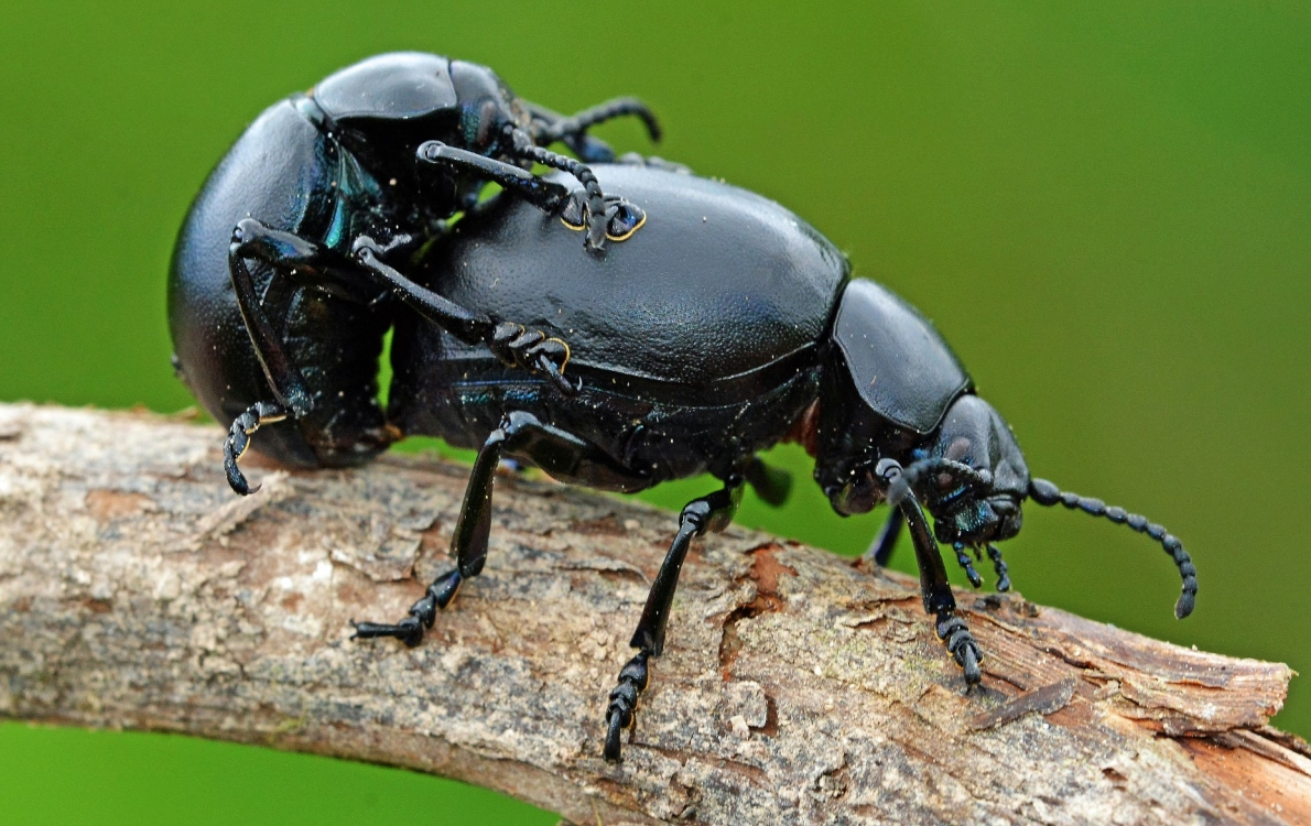 Bloody Nosed Beetles