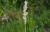 Early Purple Orchid (White Version)