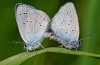 Small Blue Pair
